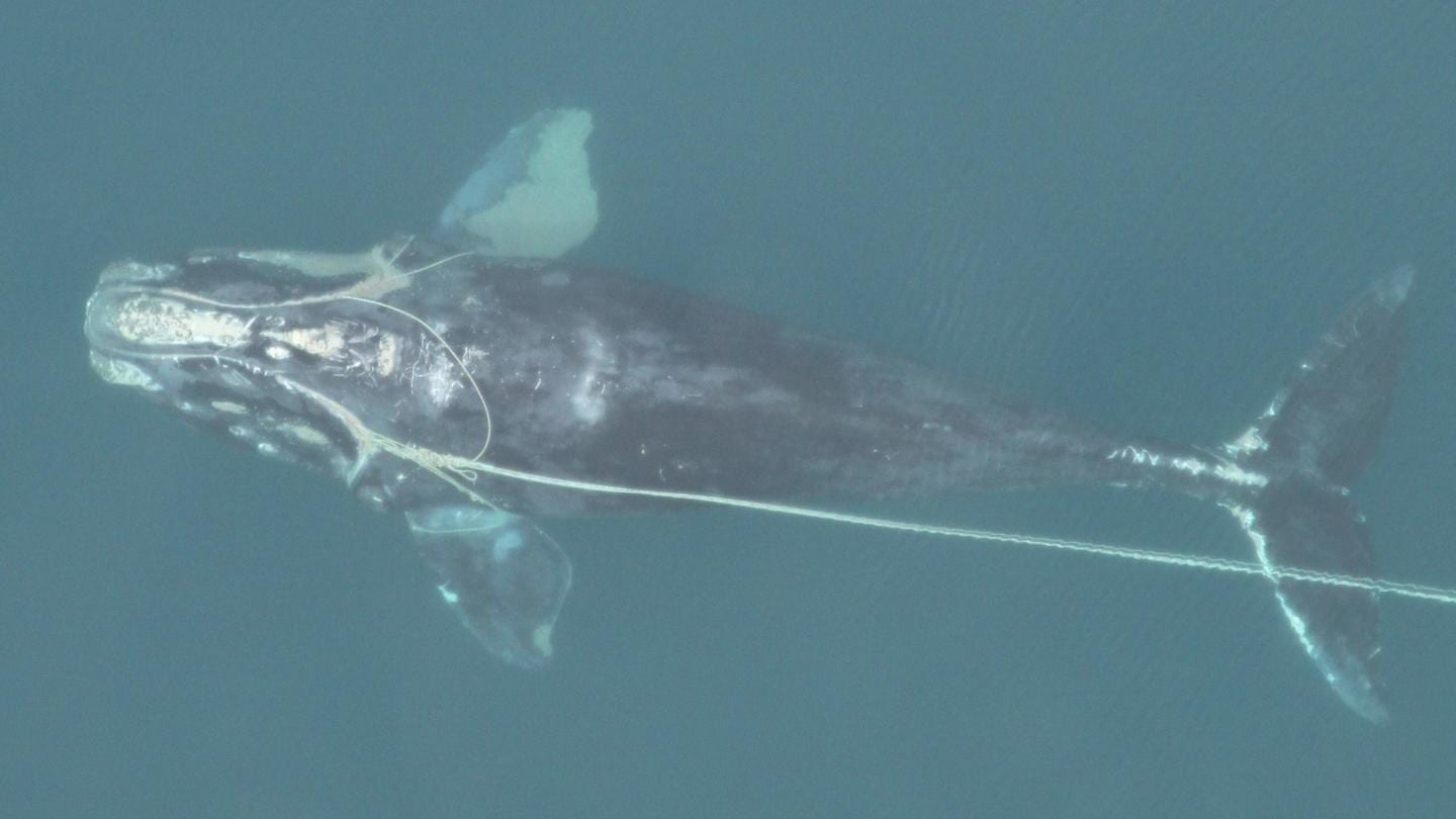 An emaciated, entangled North Atlantic right whale swimming with fishing trap rope around both flippers, through its mouth, and dragging behind it. (Photo courtesy of Florida Fish and Wildlife Commission, NOAA Permit #594-1759)