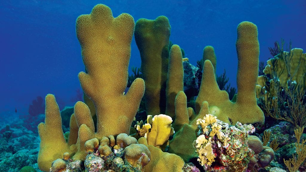 Pillar corals