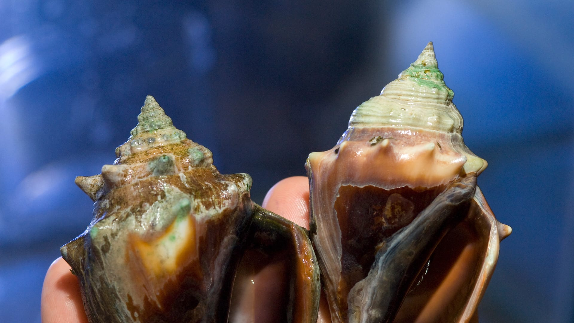 Scientists are investigating how higher CO2 levels in sea water effects animals' abilities to create shells. Here, conchs (Strombus alatus), deteriorated (left), but surprisingly, some thrived. Photo by Tom Kleindinst © Woods Hole Oceanographic Institution