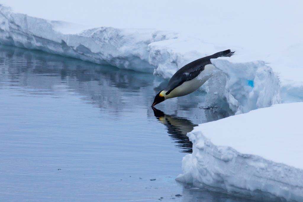 An emperor penguin dives into the Antarctic water. (Photo by Peter Kimball, ©Woods Hole Oceanographic Institution.)
