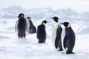 A group of six emperor penguins standing on the ice.