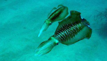 squid pair