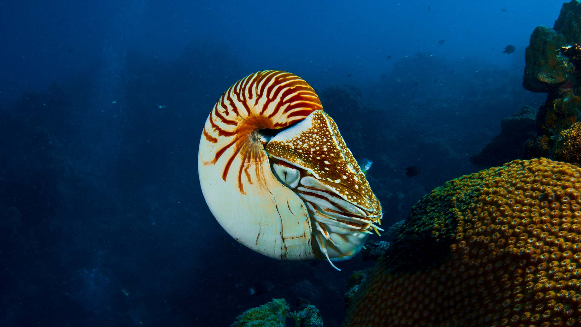 The chambered nautilus has a specialized siphon that it uses to propel itself through the water (© Getty Images)
