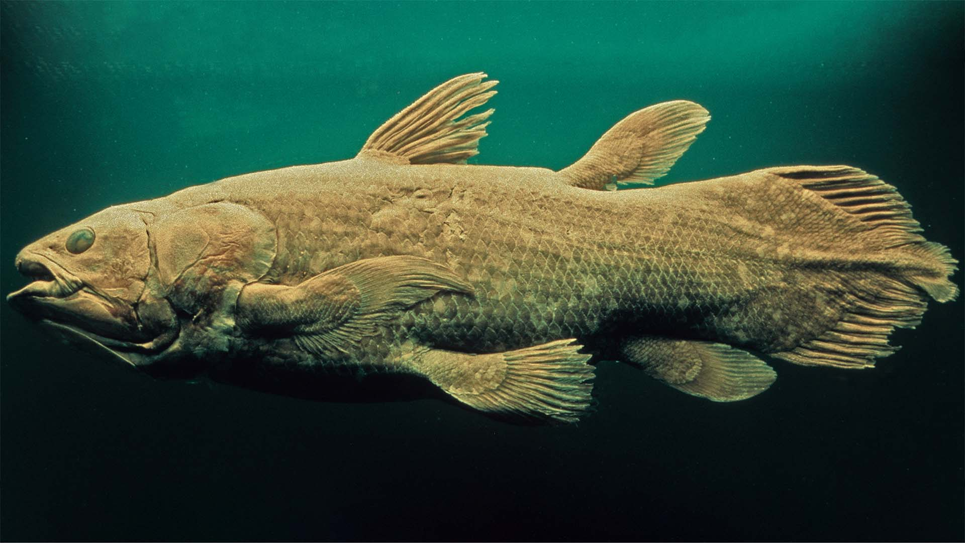 Thanks to their limb-like fins, coelacanths are actually more closely related to reptiles, amphibians, and mammals than they are to fish. (© Getty Images)