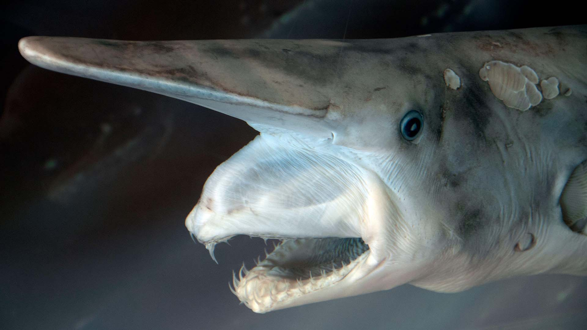 The goblin shark (Mitsukurina owstoni) has a extendible jaw, capable of snatching up passing prey (© Alamy)