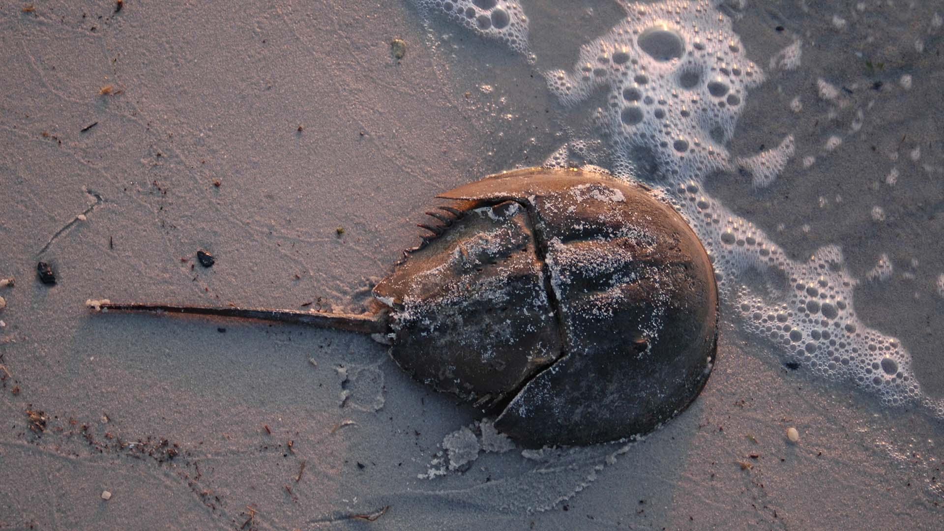 A horseshoe crab scuttles along the waterline. (Photo courtesy of NOAA Sea Grant)