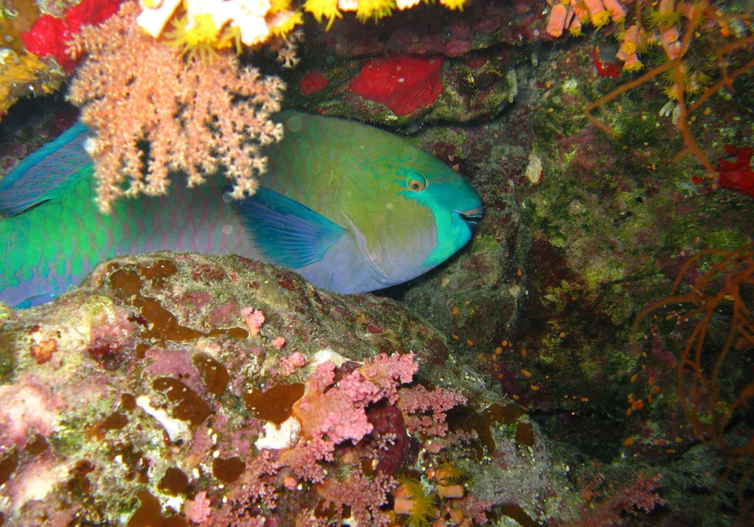 Parrot fish in coral